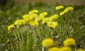 Taraxacum Blooms In Spring poster