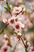 Peach Blossoms Turn Nature To White poster