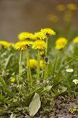 Dandelions Blooms In Spring #2 poster