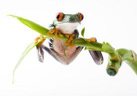 foto of red eye tree frog  - Frog  - JPG