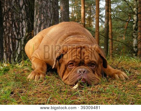 Sad French Mastiff Lying On The Ground In Forest