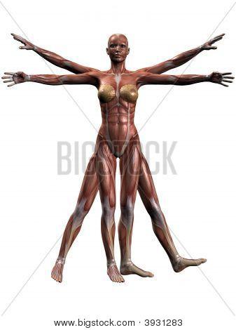 Female Human Body Anatomy