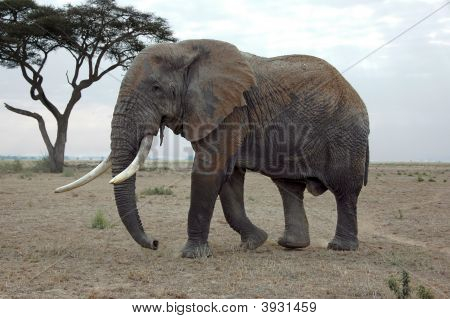 An Elephant In The African Savannah
