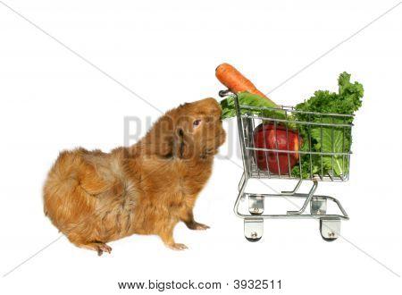 Hungry Guinea Pig