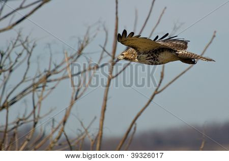 Red-tailed Hawk Flying With Fingertips Flared