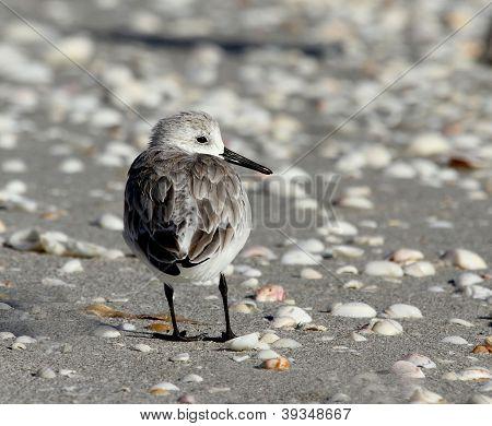 Sanderling On A Beach