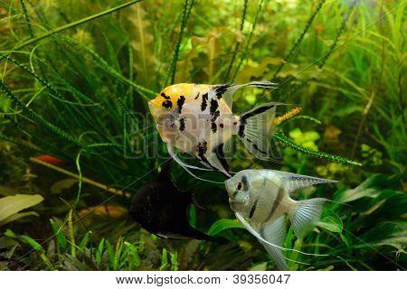 Pterophyllum scalare no aquário