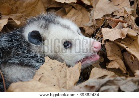 Opossum In Leaves