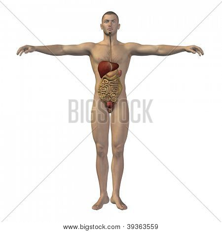 High resolution concept conceptual anatomical human or man 3D digestive system isolated on white background as metaphor to anatomy,medical,body,stomach,medicine,intestine,biology,internal or digest