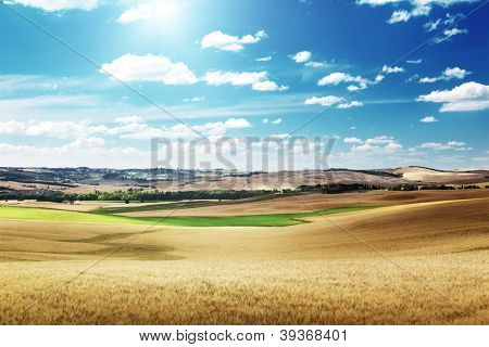 hills of barley in Tuscany, Italy