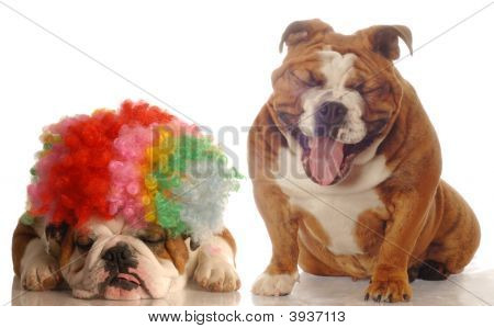 Bulldog With Clown Wig Bulldog Laughing