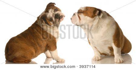 Bulldog Sitting With Bulldog Kissing