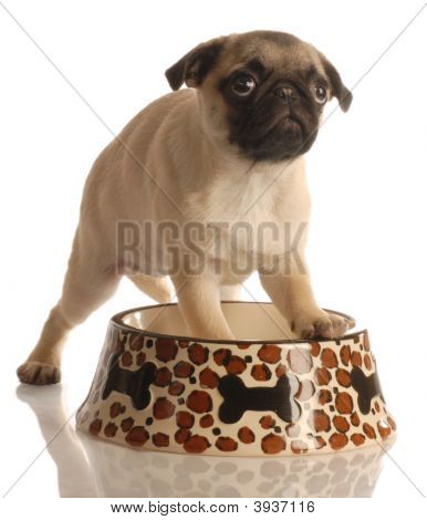 Pug In Food Dish