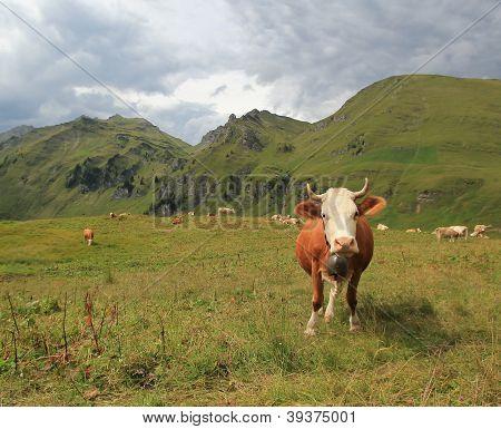 Perplex Cow