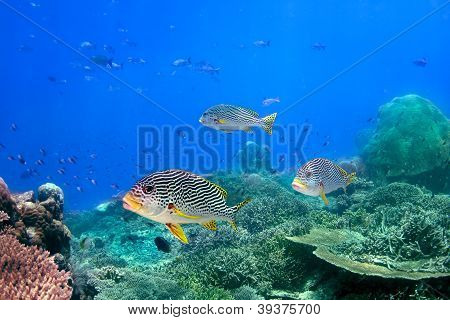 Coral Reef And Blackspotted Sweetlips