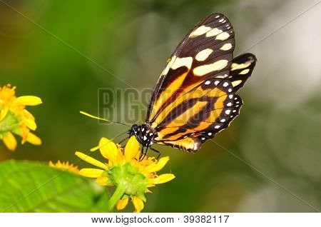 Tiger mimic butterfly