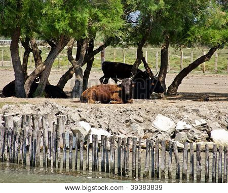 Resting Bulls