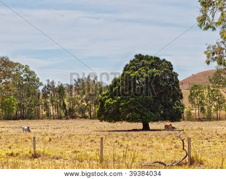 Land cleared solitary fig tree for shade