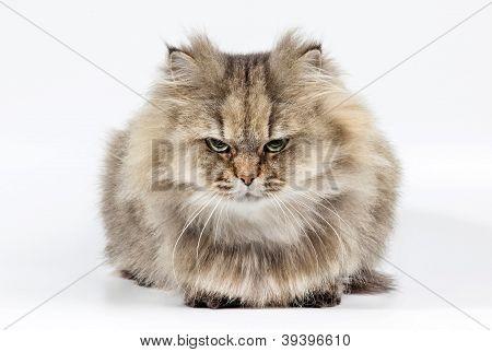 Irritado persa chinchila Golden de gato