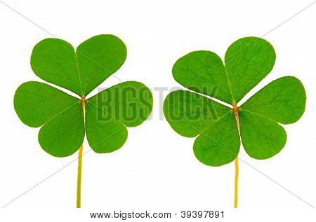 Three Leaf Clover on white background