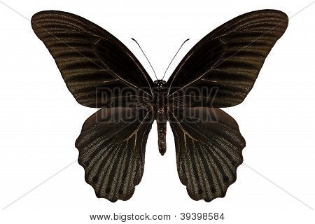"Butterfly Species Papilio Memnon Memnon""great Mormon"""