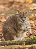 picture of tammar wallaby  - Eating parma wallaby in a dutch zoo - JPG