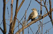 image of mockingbird  - Northern Mockingbird Perched on a Branch in a Tree - JPG