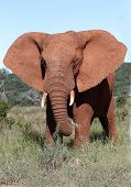 stock photo of male-domination  - African elephant male with it - JPG