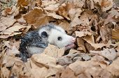 stock photo of opossum  - A large Virginai opossum bedded down in leaves and showing its teeth - JPG