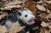 image of possum  - A large Virginai opossum bedded down in leaves and showing its teeth - JPG