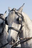 foto of lipizzaner  - Close up of lipizzaner horse head with glases - JPG