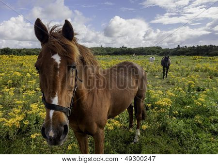 Horses In A Tansy Summer Field