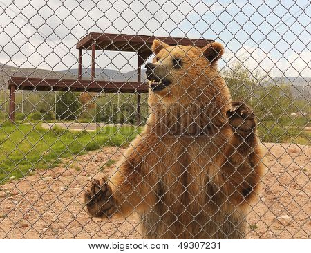A Grizzly Bear In A Zoo Cage