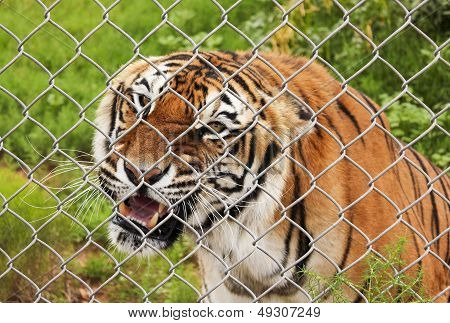 An Angry Bengal Tiger In A Zoo Cage
