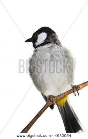 White-eared Bulbul Bird