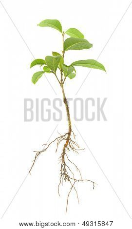 Tree sapling or seedling with visible root against a white background
