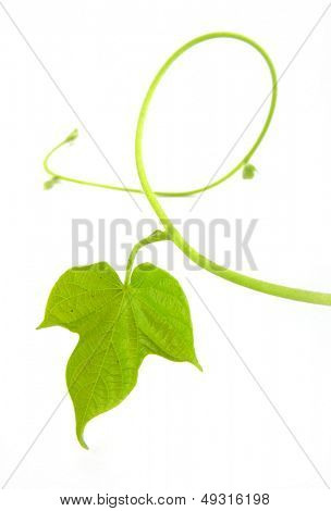 Vine leaf isolated on white