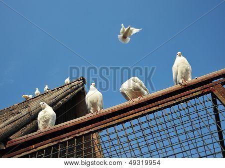 White Pigeons