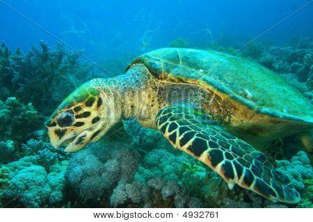 Turtle Feeding On Soft Corals