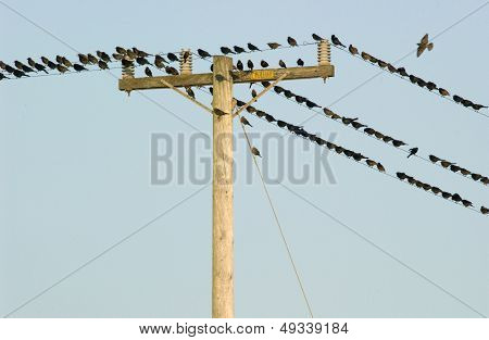 birds resting on phone wires