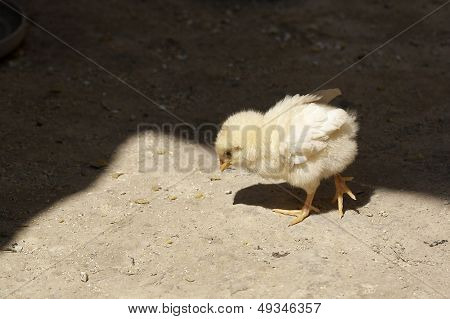 baby chick in the yard