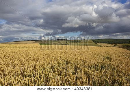 English Wheat Fields