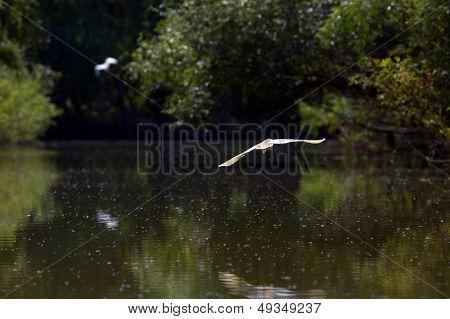 Heron  Ardeola Ralloides