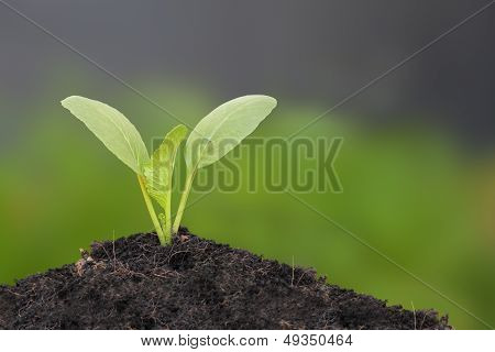 Young Chinese mustard green growth on top soil.