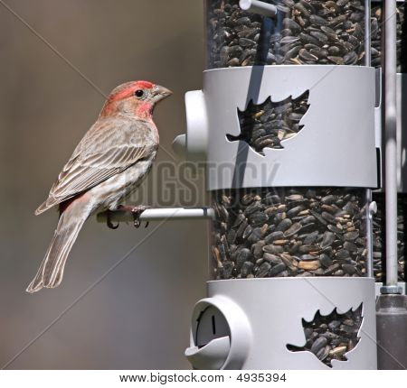 Male House Finch On Feeder