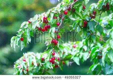 Many Rich Cornelian Cherry