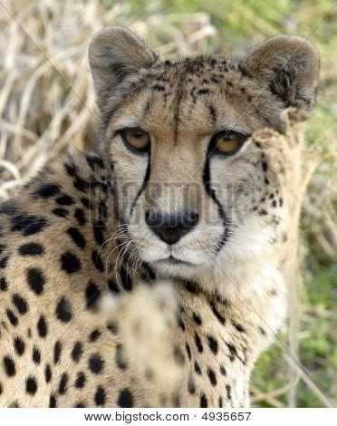 Big Cat- Cheetah.