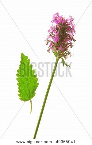 Wood betony (Stachys officinalis)