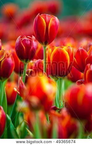 Fresh Tulips In Garden