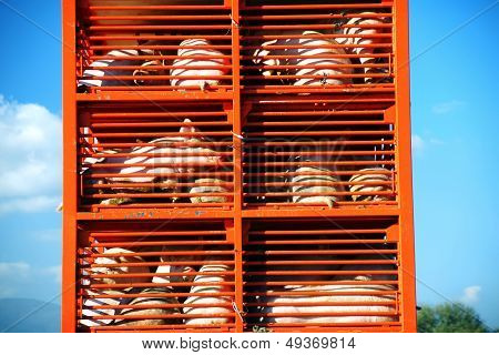 Pigs And Hos Raised For Food Being Transported To A Butcher House In An Orange Truck
